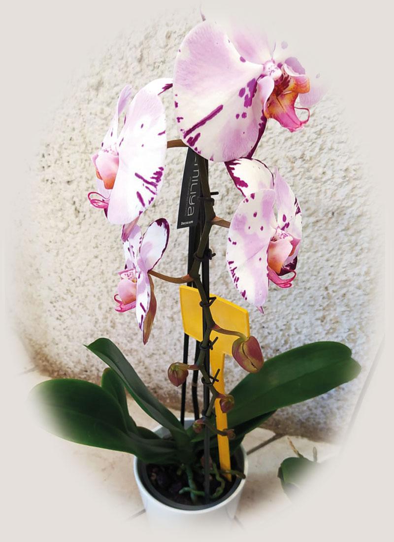 phalaenopsis-a-cascata-1-ramo-da-euro-20