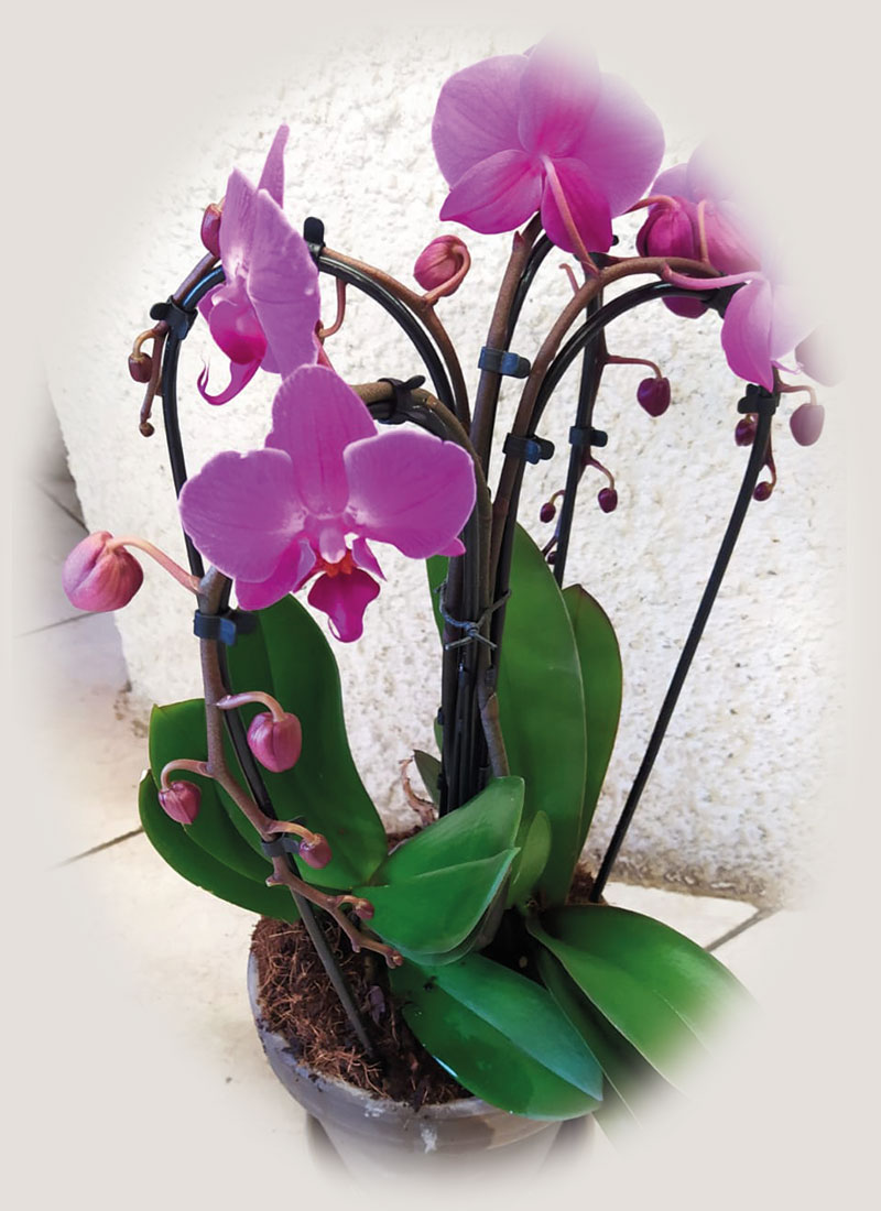 phalaenopsis-cascata-3-rami-euro-35